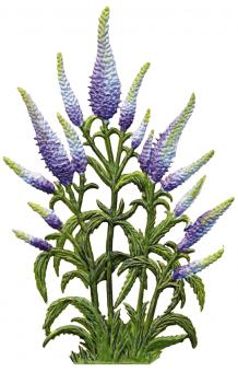 Ornament: Veronica spicata (spiked speedwell)