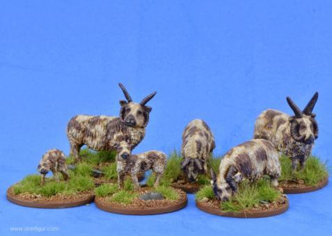 Sheep (Manx Loaghtan)